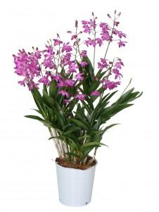 Dendrobium Berry Oda roze 12+ tak