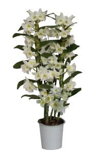 Dendrobium Nobile Apollon 2 tak 60 cm