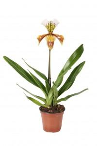 Paphiopedilum USA Hybride 1 bloem