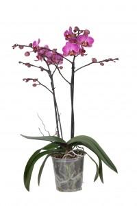 Phalaenopsis Multiflora P12 Perceval 2 tak 20+
