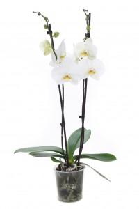 Phalaenopsis p12 Dame Blanche 16+
