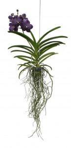 Vanda Sunanda Persian Indigo 1T_Plant