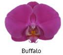 Orchideeen soorten57