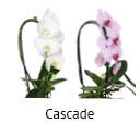 Orchideeen soorten80