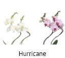 Orchideeen soorten84