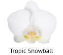 Orchideeen soorten91